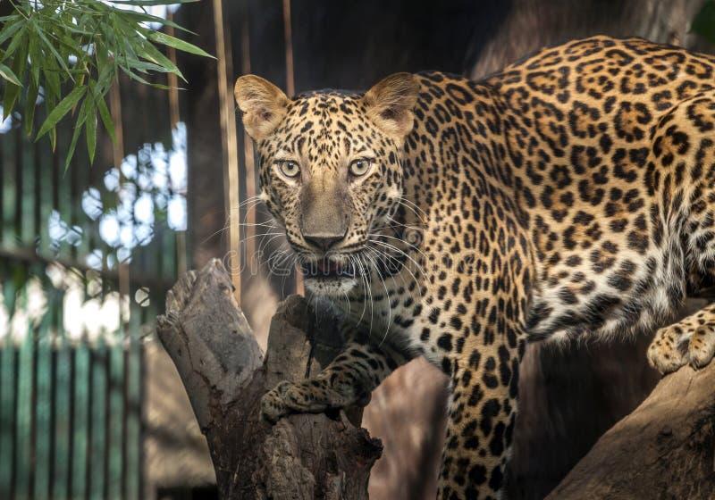 Chasse de léopard looing quelque chose photo libre de droits