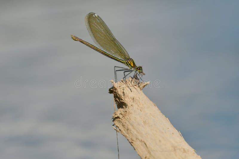 Chasse de libellule pour le moustique et consommation d'une mouche images libres de droits