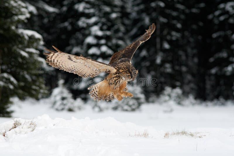 Chasse de mouche d'Eagle Owl d'Eurasien pendant l'hiver entouré avec des flocons de neige image stock