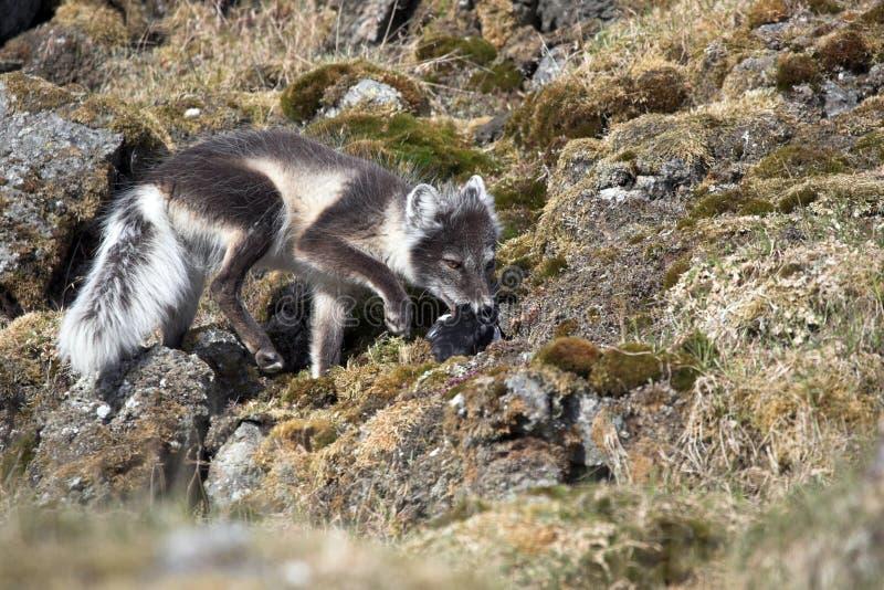 Chasse de renard arctique pour des oiseaux image stock