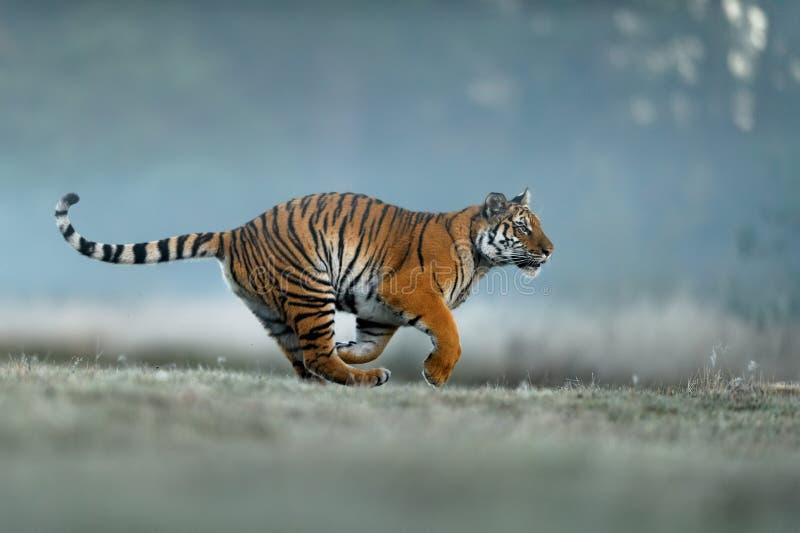 Chasse de tigre le matin brumeux Tigre sib?rien, animal dangereux, altaica du Tigre de Panthera image stock