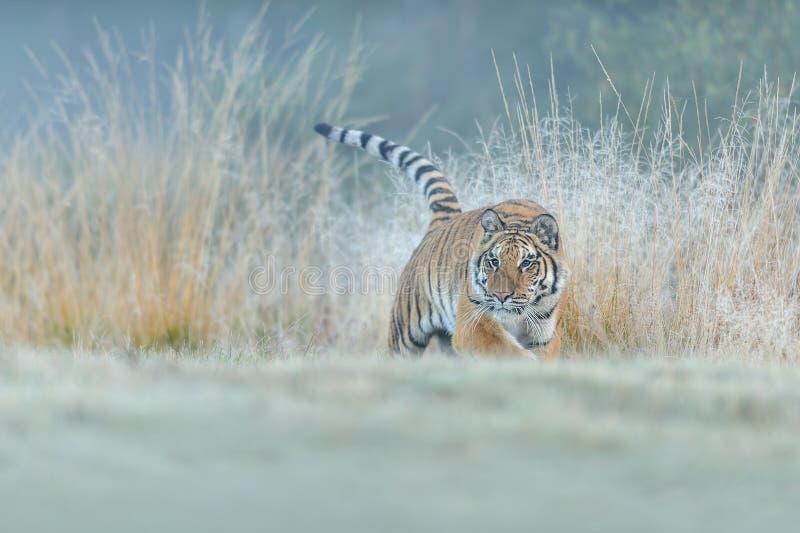 Chasse de tigre sib?rien dans la haute herbe jaune Photo d'angle faible Tigre sib?rien, altaica du Tigre de Panthera photographie stock libre de droits