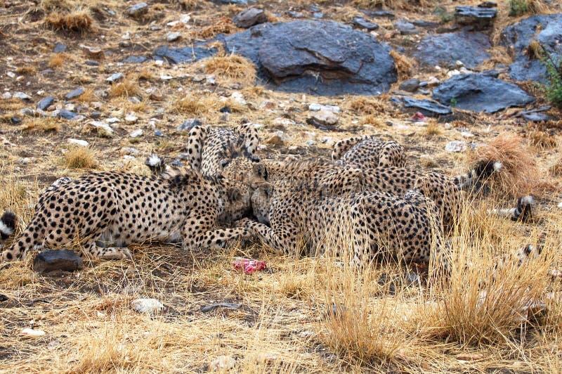 Chasse des guépards africains sauvages dans la savane de la Namibie photo libre de droits