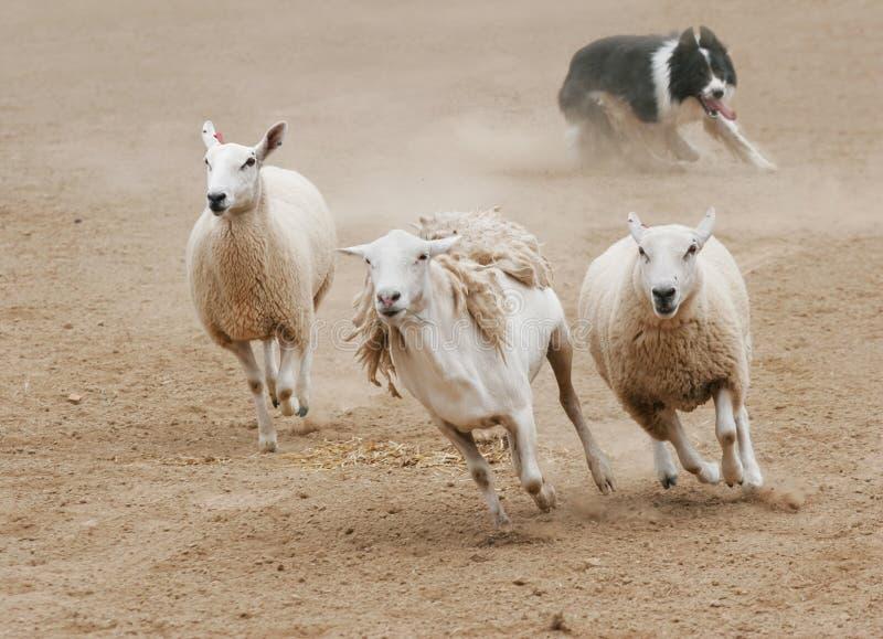 Chasse des moutons photo libre de droits