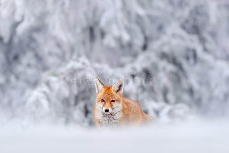 Chasse du Fox rouge en hiver de neige photos libres de droits