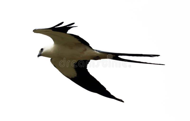 chasse Hirondelle-coupée la queue d'oiseau de proie de cerf-volant dans les cieux de Costa Rica image stock