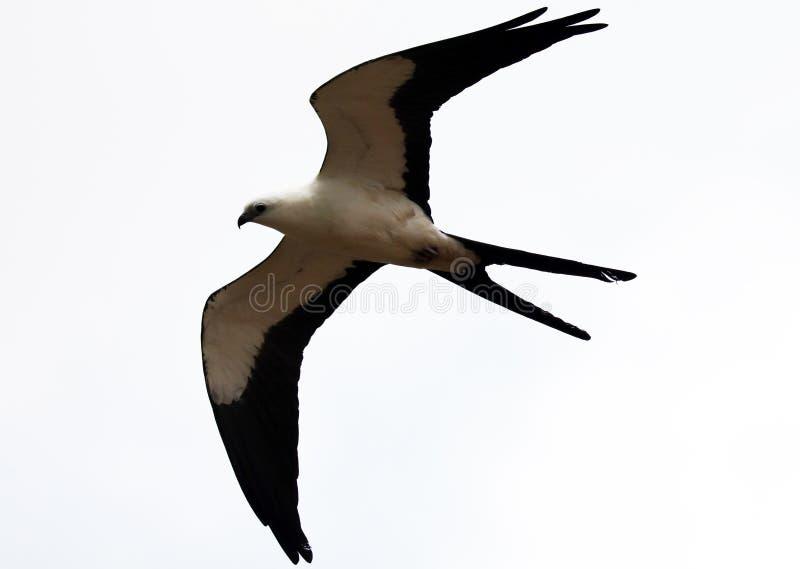 chasse Hirondelle-coupée la queue d'oiseau de proie de cerf-volant dans les cieux de Costa Rica photographie stock