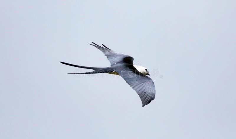 chasse Hirondelle-coupée la queue d'oiseau de proie de cerf-volant dans les cieux de Costa Rica image libre de droits