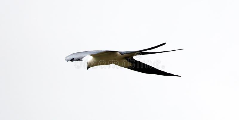 chasse Hirondelle-coupée la queue d'oiseau de proie de cerf-volant dans les cieux de Costa Rica photos libres de droits