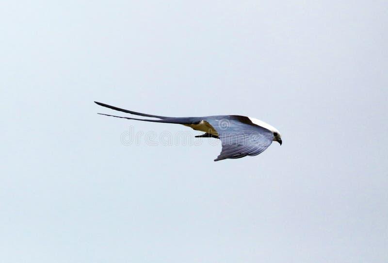 chasse Hirondelle-coupée la queue d'oiseau de proie de cerf-volant dans les cieux de Costa Rica images stock
