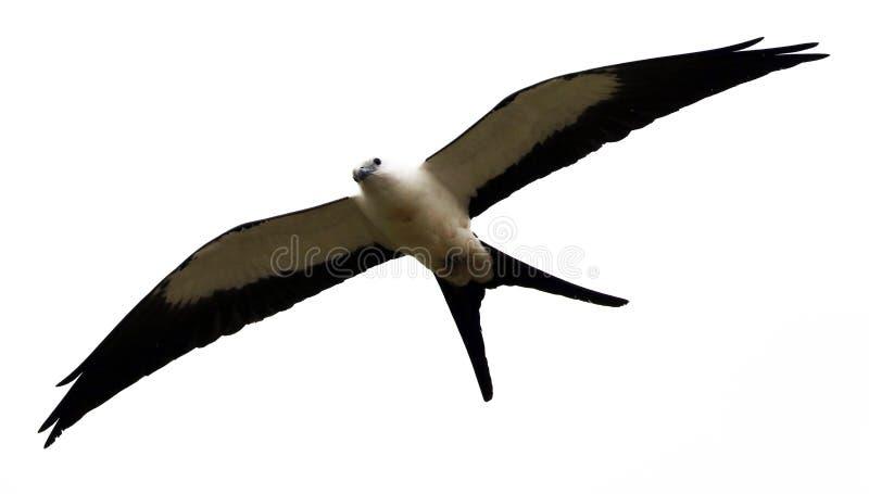 chasse Hirondelle-coupée la queue d'oiseau de proie de cerf-volant dans les cieux de Costa Rica photos stock