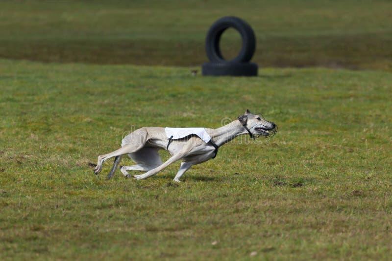 Chasser le chien de course photographie stock libre de droits