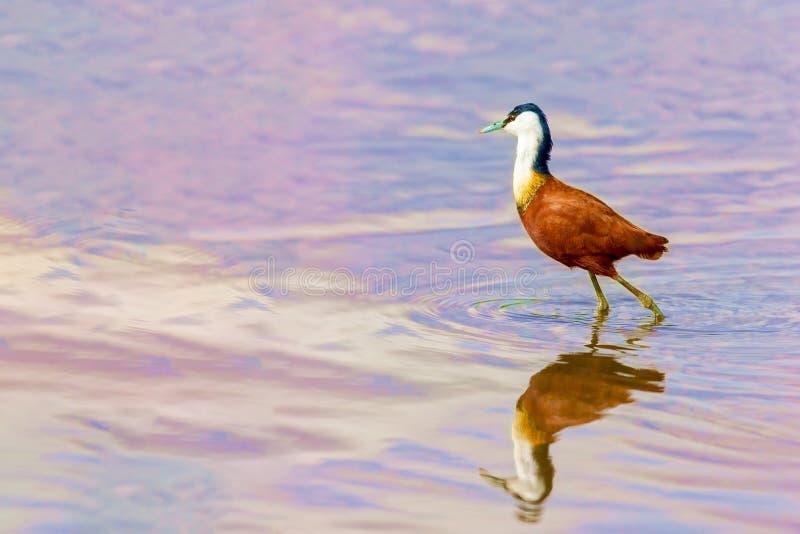 Chasses ? oiseau sur le lac image stock