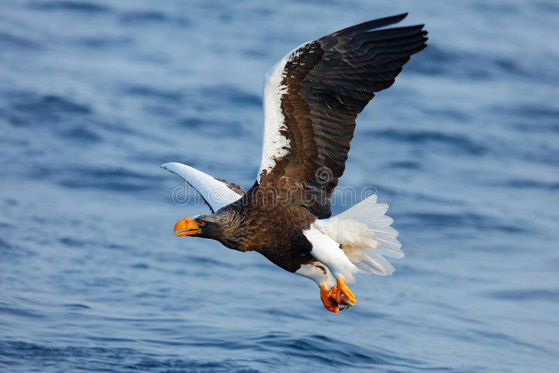 Chasseur de mer Vol d'Eagle au-dessus de la mer Bel aigle de mer du ` s de Steller, pelagicus de Haliaeetus, oiseau de vol de pro images libres de droits