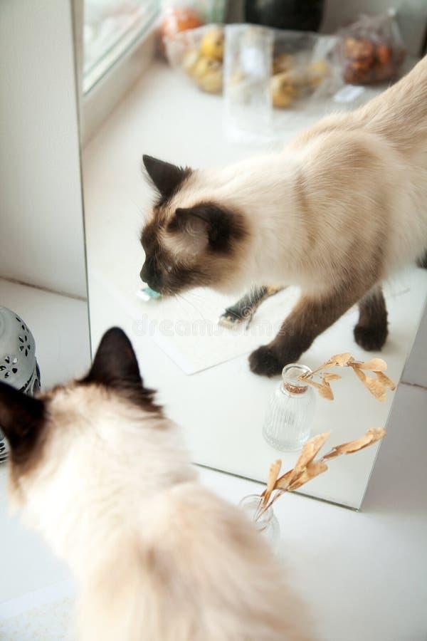 Chat à cheveux longs mignon marchant devant un miroir photos stock