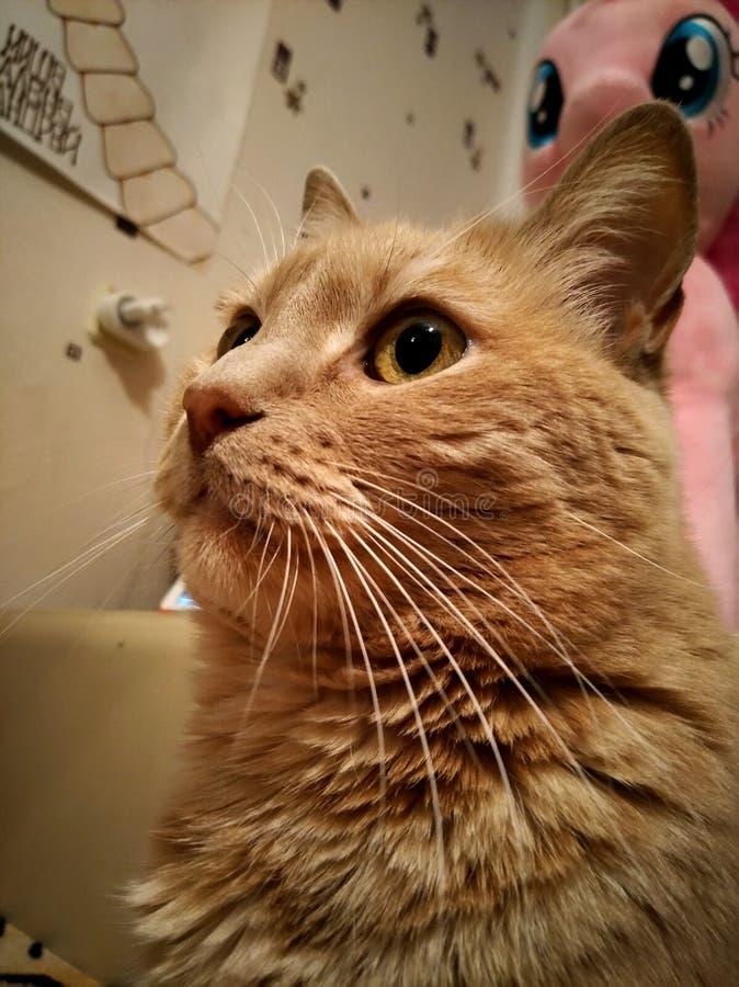 chat à tête rouge images libres de droits