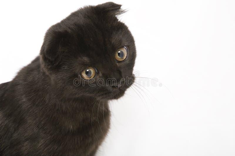 Chat àux oreilles pendantes photo stock
