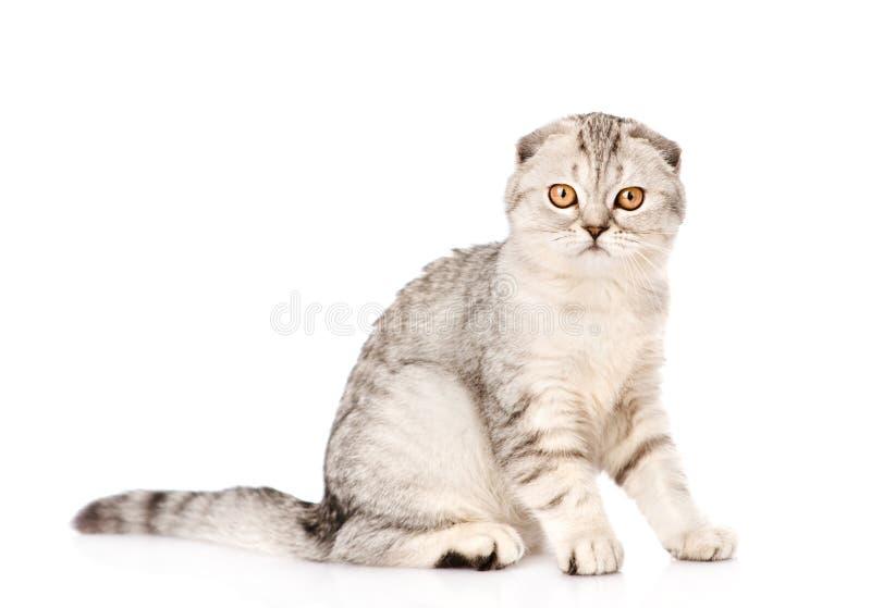 Chat écossais aux oreilles tombantes regardant l'appareil-photo D'isolement sur le blanc images stock