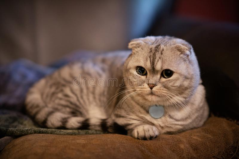 Chat écossais blanc et argenté potelé adorable de munchkin de pli s'étendant sur l'oreiller avec la profondeur du champ photographie stock