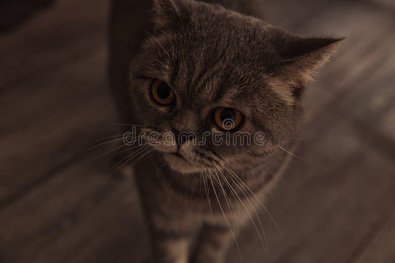Chat écossais dans la chambre image stock