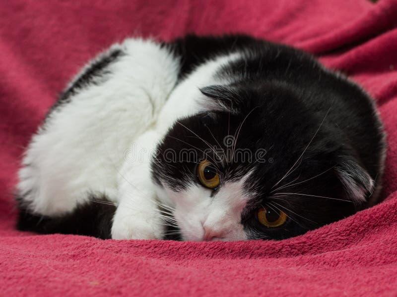Chat écossais noir et blanc de shorthair de pli photo stock