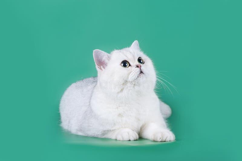 Chat écossais sur un fond vert d'isolement photo stock