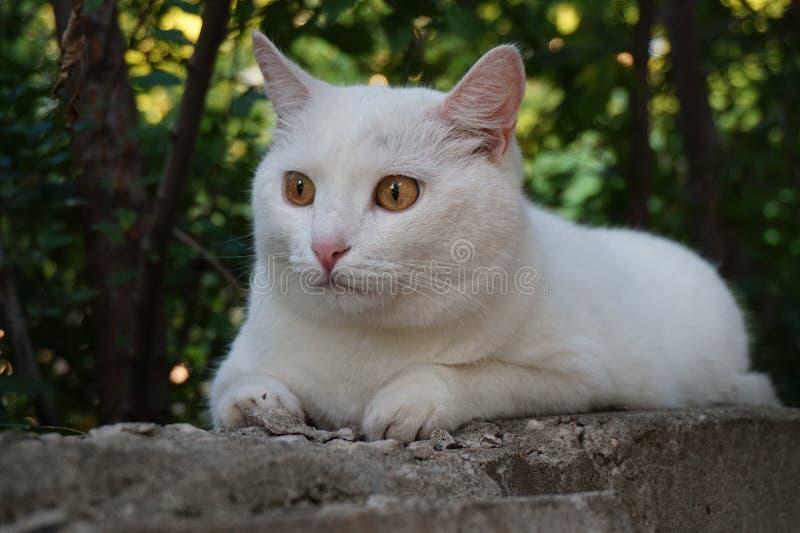 Chat égaré blanc avec les yeux jaunes photo stock