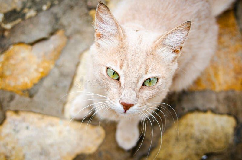 Chat égaré crémeux égyptien avec les yeux verts dans Dahab, Egypte photographie stock libre de droits