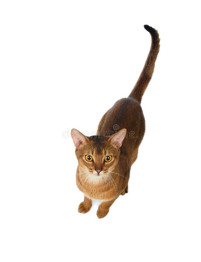 Chat abyssinien avant de sauter, vue supérieure, d'isolement sur le blanc photographie stock
