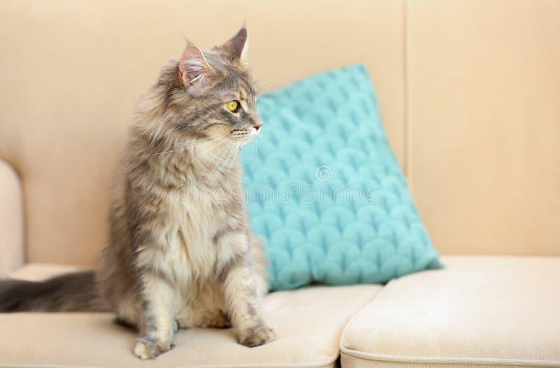 Chat adorable de Maine Coon sur le divan à la maison images stock