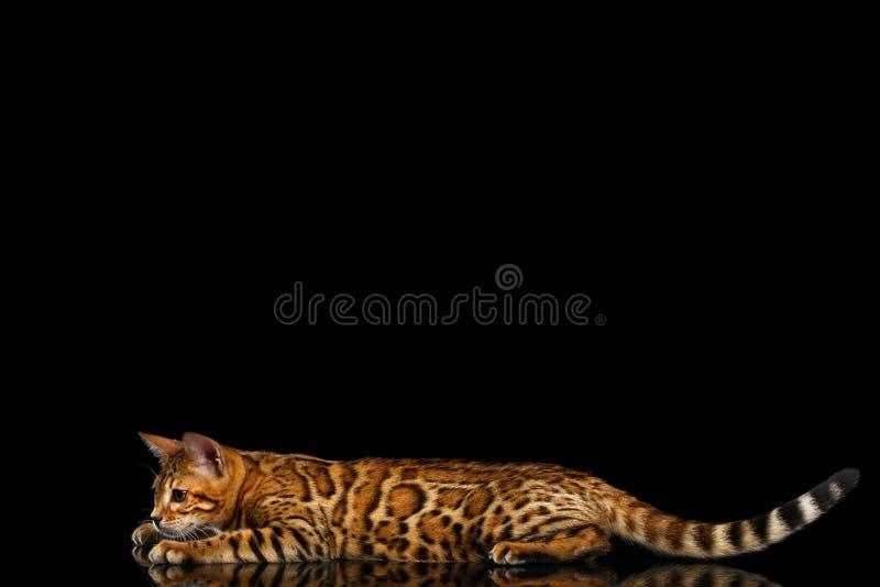 Chat adorable du Bengale de race d'isolement sur le fond noir image libre de droits