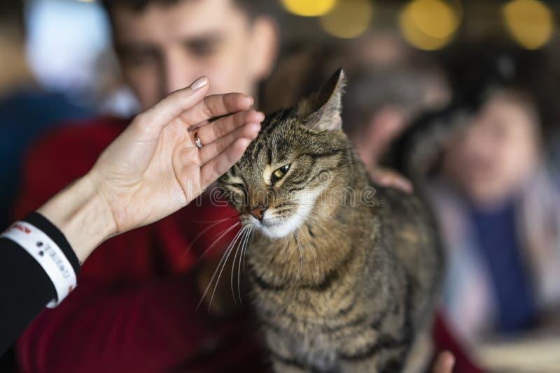 Chat affectueux mignon avec les yeux tristes dans des mains aimables de volontaire attendant leur futur propriétaire Concept de l photos stock