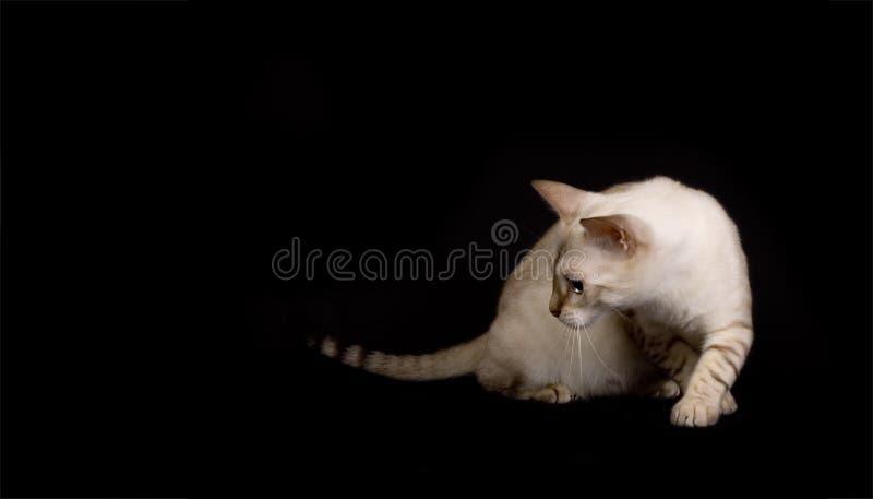 chat alerte du Bengale photos libres de droits