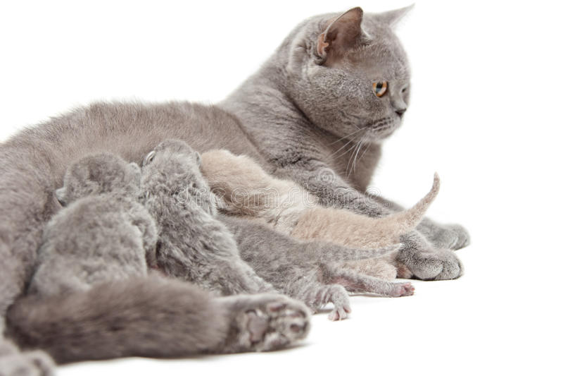 Chat alimentant de petits chatons photo stock
