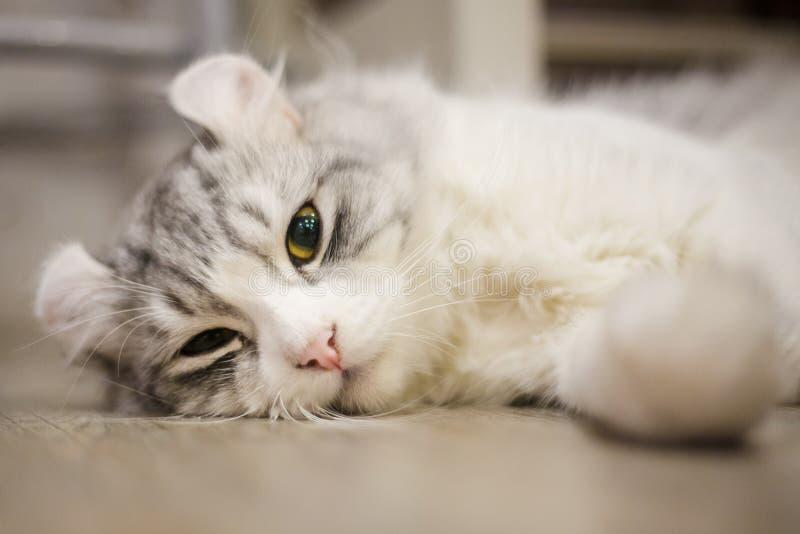 Chat américain mignon de boucle photo libre de droits