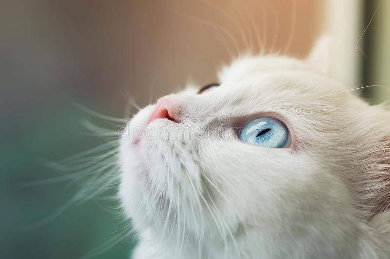 Chat angora blanc avec différents les yeux bleus et jaunes recherchant curieusement image stock