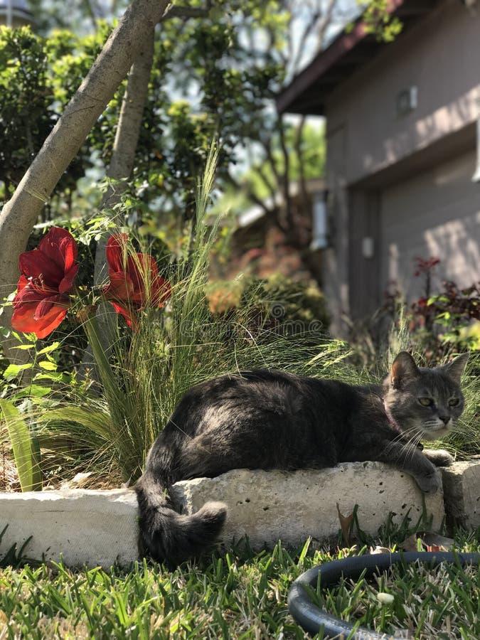 Chat assez gris avec les fleurs rouges photo libre de droits