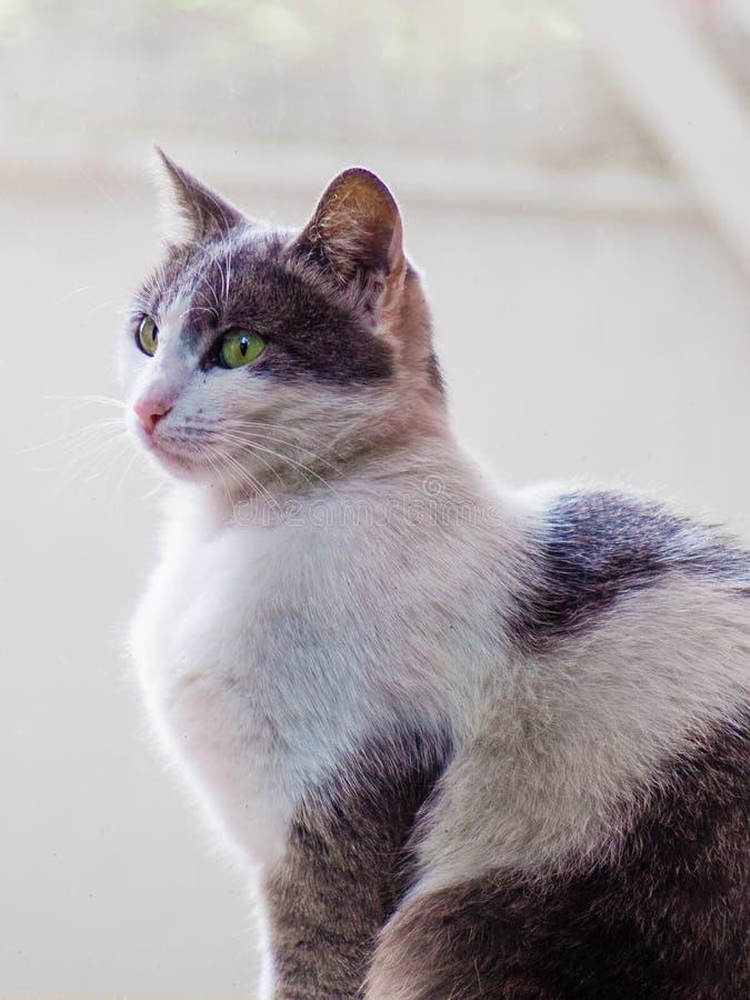 Chat assez gris et blanc avec les yeux verts et le nez rose photos stock