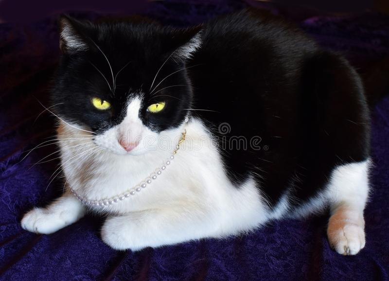 Chat assez noir et blanc portant un collier de perle image libre de droits