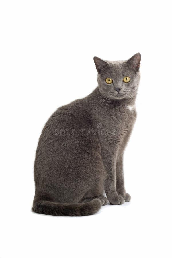 Chat aux cheveux courts britannique gris image stock