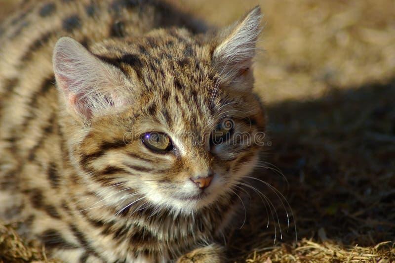 Chat aux pieds noir (nigripes de felis) photo stock