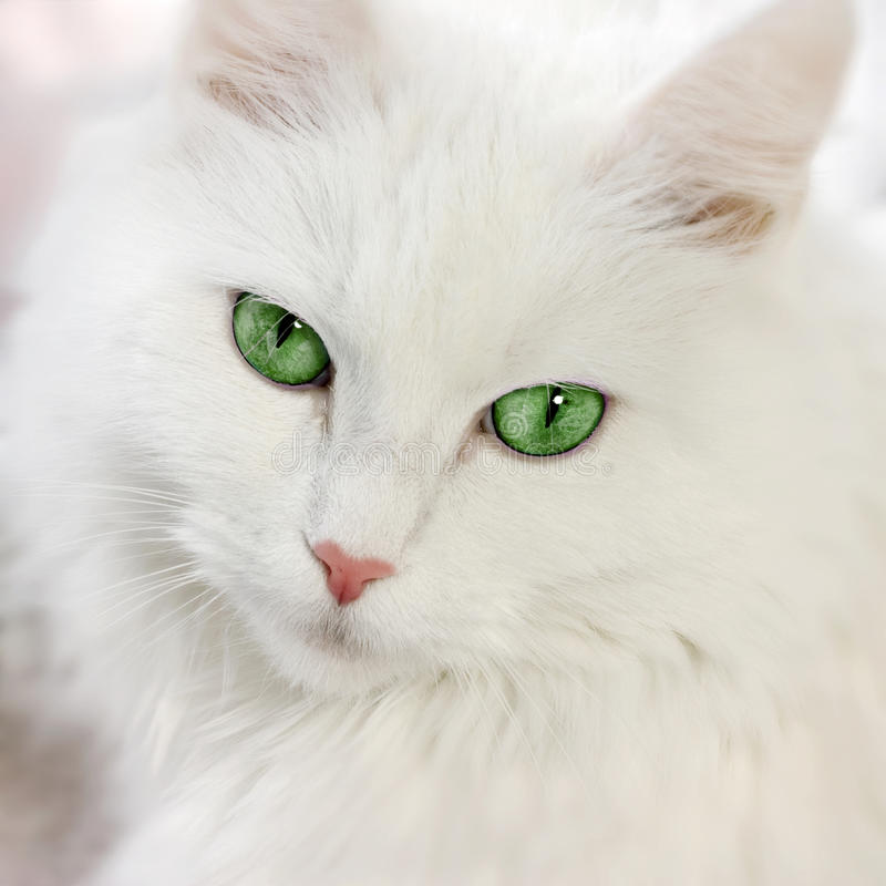 Chat aux yeux verts images stock