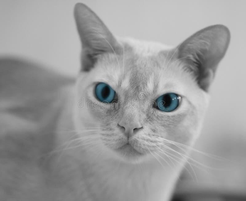 Chat avec des œil bleu photographie stock libre de droits
