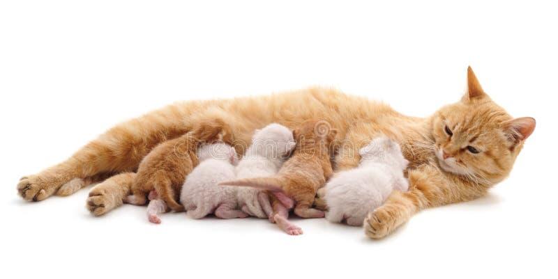 Chat avec des chatons photo libre de droits