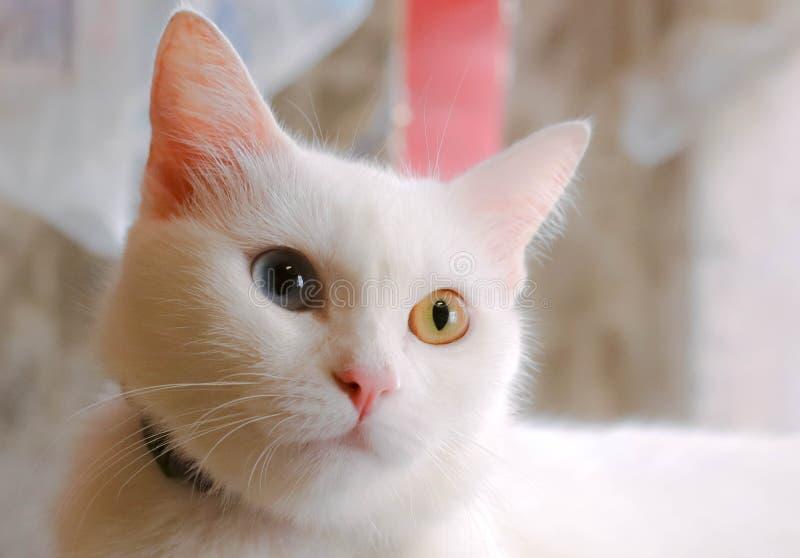 Chat avec deux yeux de couleur photos stock