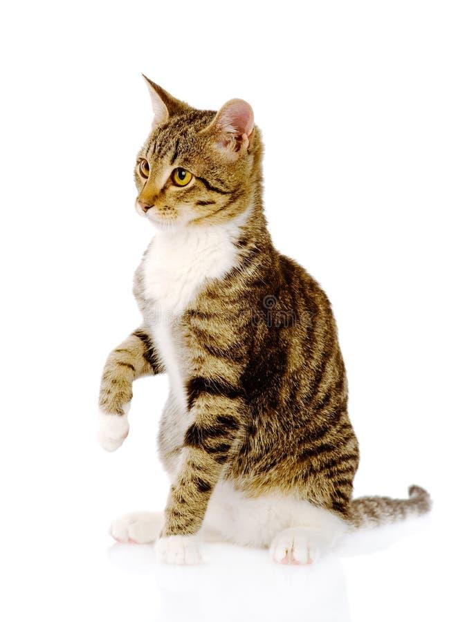 Chat avec la patte augmentée Sur le fond blanc photographie stock libre de droits