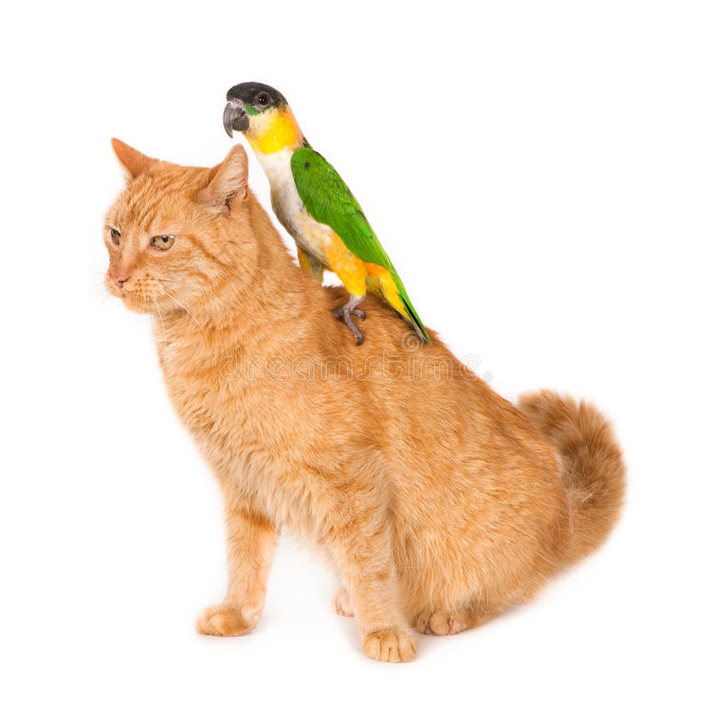 Chat avec le perroquet noble sur le sien de retour photographie stock libre de droits