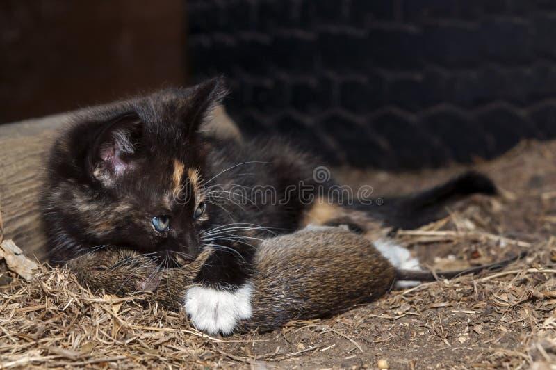 Chat avec le rat images libres de droits