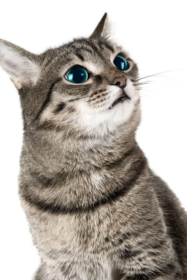 Chat avec les yeux verts image stock