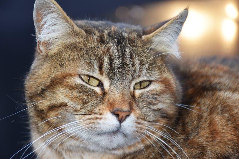 Chat avec les yeux verts images libres de droits